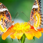 Same-Color-Butterflies-On-Yellow-Flowers-HD-Wallpapers-1024x576